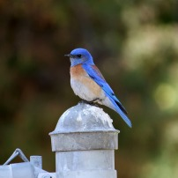 A little BLUE BIRD posing for me in Yorba Linda, CA