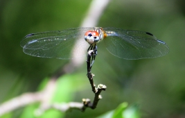 Dragonfly head on IMG_7330