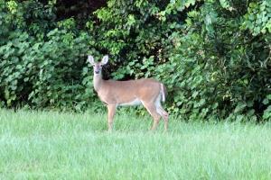 Deer IMG_9638