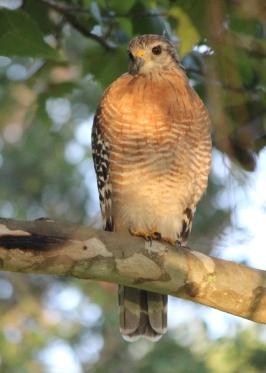 Hawk IMG_9656