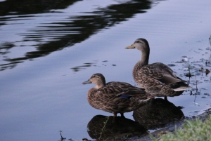 ducks IMG_0116