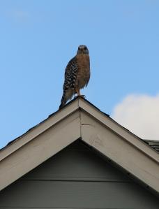 Hawk IMG_9824