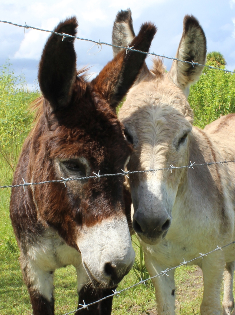 Couple Donkeys IMG_0422