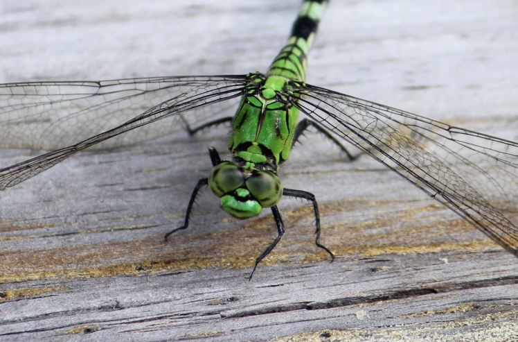 dragonfly IMG_0662