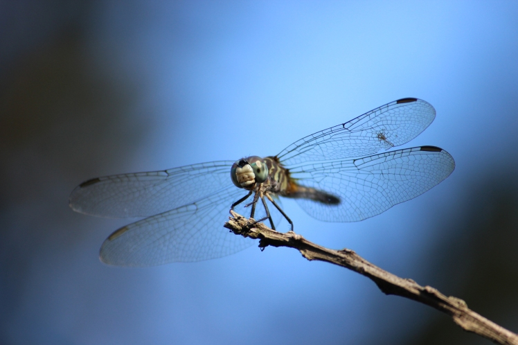 Dragonfly IMG_1136