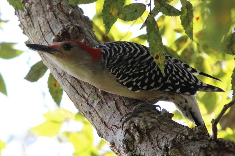 woodpecker IMG_1329