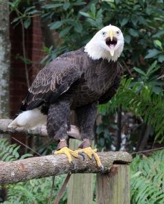 Eagle IMG_2338