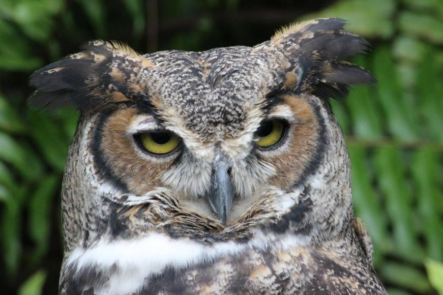 Horned owl IMG_2356