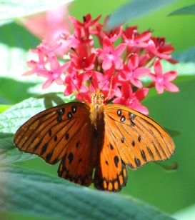 "Beautiful orange BUTTERFLY ""caught"" at Amrit Yoga Institute. Salt Springs, FL"