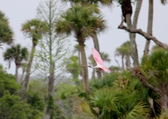 Pink birds are just special. Roseate spoonbill.