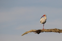 Contemplative ibis. Probably wondering where his other foot has gone.