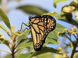 Monarch BUTTERFLY. First sign of summer in my backyard. Oviedo, FL