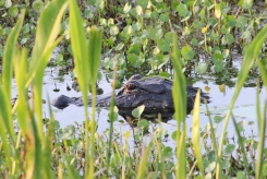 Perennial resident. Orlando Wetlands Park, Christmas