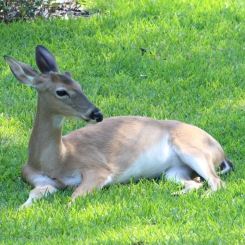 "Young buck bottle fed but still ""wild."" Salt Springs"