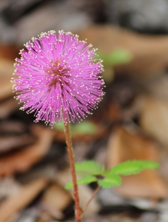 Happy Whoville flower, a.ka. Mimosa. Oviedo