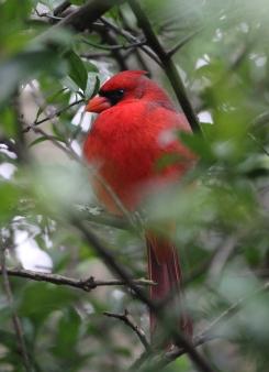 Cardinal IMG_1584