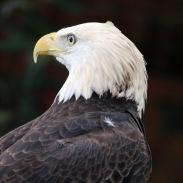 EAGLE. Resident of Birds of Prey center in Maitland, FL
