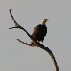EAGLE. There is something truly magical about seeing an eagle in the wild. Orlando Wetlands, Christmas, FL