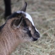 goat IMG_4169
