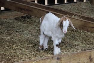 goat IMG_4308