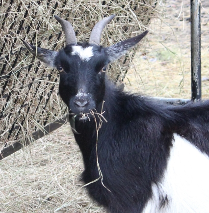 goat zoom IMG_4303