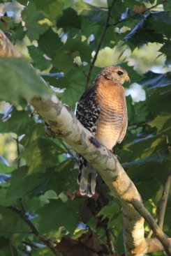 Young hawk. Oviedo