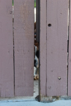My brother's dog trying to figure out how to outsmart the gate. Yorba Linda, CA