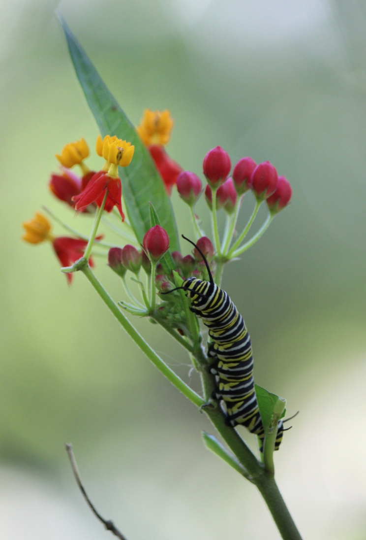 CATERPILLAR. Munching away on beautiful spring flowers to blossom into a Swallowtail butterfly in summer. Maitland, FL