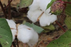 Cotton IMG_0080