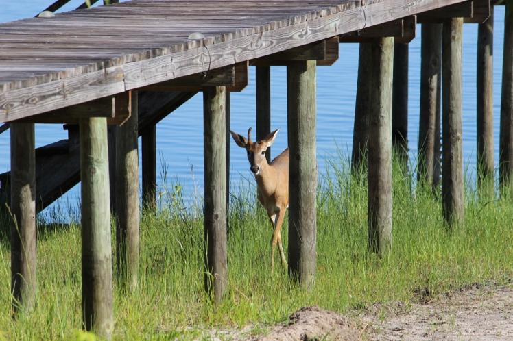 Deer IMG_9684