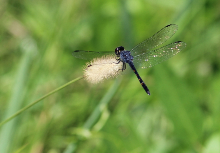 Dragonfly IMG_9417