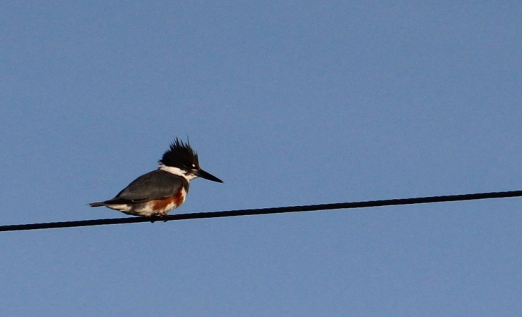 kingfisher best IMG_3378