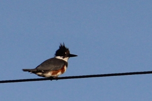 kingfisher IMG_3379