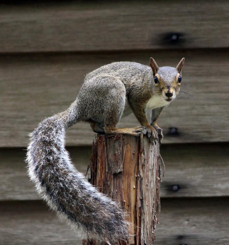 squirrel IMG_0742