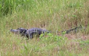 alligator IMG_3614