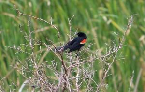 black bird IMG_3574
