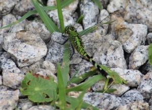dragonfly IMG_3509
