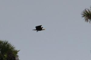 Eagle IMG_3667