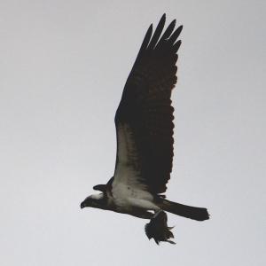 osprey IMG_3540