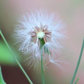 dandelion IMG_3677
