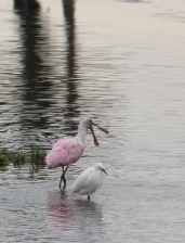 OWP Spoonbill IMG_6210