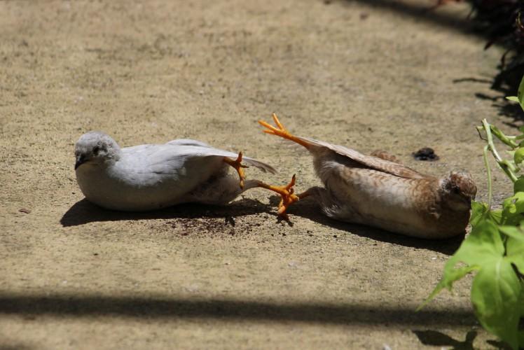 quail IMG_3697